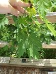 Acer saccharinum by Bailey Coffelt