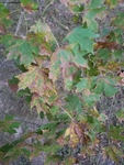 Acer saccharum by Amber Steele