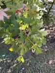 Acer saccharinum by John Gadberry