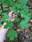 Acer floridanum by Caitlin Goldtrap