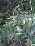 Ailanthus altissima by Joshua Poland