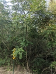 Ailanthus altissima by Trevor Jensen
