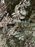 Ampelopsis arborea by John Gadberry