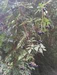 Ampelopsis arborea by Brad Moore