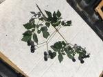 Ampelopsis arborea by Devin Deaton