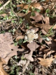 Antennaria neglecta by Dakota Nash