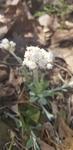Antennaria plantaginifolia by Alyssa Mostrom
