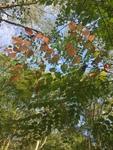 Aralia spinosa by Dakota Nash