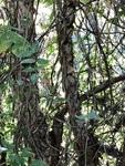 Betula nigra by Clay Williams