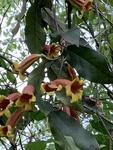 Bignonia capreolata by John Gadberry