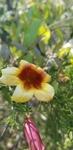 Bignonia capreolata by Alyssa Mostrom