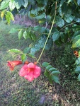 Campsis radicans by Clay Williams