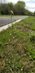 Capsella bursa-pastoris by Alyssa McElroy