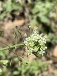 Capsella bursa-pastoris by David Henderson
