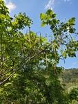 Catalpa bignonioides by Bailey Coffelt