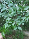 Celtis laevigata by Bailey Coffelt