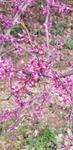 Cercis canadensis by Alyssa Mostrom