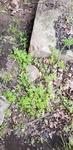 Chaerophyllum procumbens by Alyssa McElroy