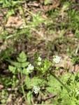 Chaerophyllum tainturieri by David Henderson