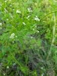 Chaerophyllum tainturieri by Josh Melton
