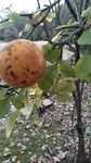 Citrus trifoliata by Amber Steele