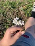 Claytonia virginica by Dakota Smith