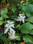 Clematis terniflora by Trevor Jensen