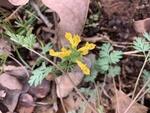 Corydalis flavula by Dakota Smith