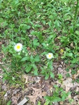 Erigeron philadelphicus by Creed Chapman