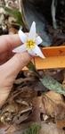 Erythronium albidum by Alyssa Mostrom