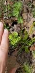 Euphorbia longicruris by Alyssa McElroy