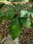 Fagus grandifolia by Trevor Jensen