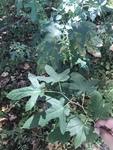 Ficus carica by Dakota Smith