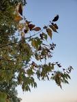 Fraxinus pennsylvanica by Bailey Coffelt