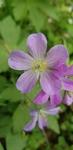 Geranium maculatum by Alyssa Mostrom