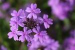 Glandularia canadensis by Bailey Coffelt