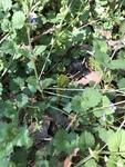 Glechoma hederacea by Richard Bailey Atkinson
