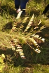 Gleditsia triacanthos by Brittany Edwards