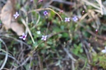Houstonia pusilla by Bailey Coffelt