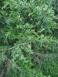 Juniperus virginiana by Bailey Coffelt
