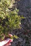 Juniperus virginiana by Brittany Edwards
