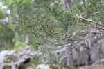 Juniperus virginiana by Bailey Coffelt