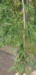 Juniperus virginiana by Alyssa Mostrom