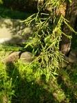 Juniperus virginiana by Josh Melton