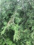 Juniperus virginiana by Devin Deaton