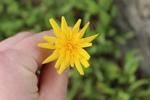 Krigia dandelion by Bailey Coffelt
