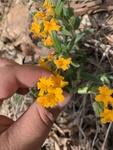 Lithospermum canescens by Dakota Smith
