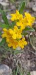 Lithospermum canescens by Alyssa Mostrom
