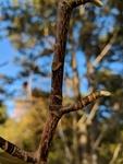 Magnolia acuminata by Trevor Jensen
