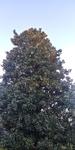 Magnolia grandiflora by Lily Knight